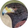 Harris' Hawk Ornament (Round)