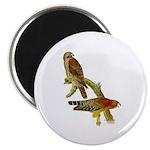 Red-shouldered Hawk Magnet