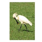 Eurasian Spoonbill Postcards (Package of 8)