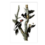 Ivory-billed Woodpecker Postcards (Package of 8)